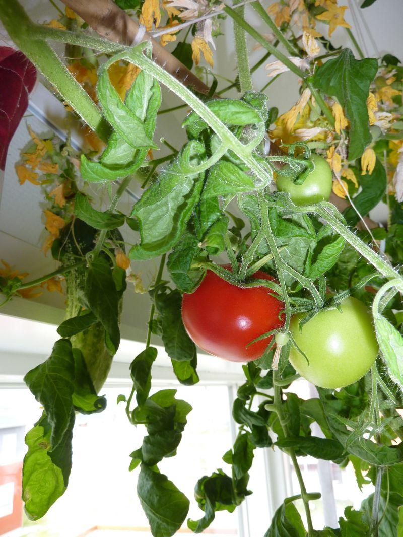 2012-08-23-1000_-_agurkeplante_tomatplante