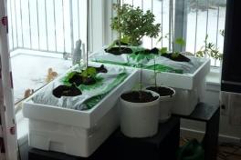 2012-04-11-1340_-_agurkeplante_chiliplante_tomatplante