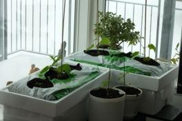 2012-04-12-0941_-_agurkeplante_chiliplante_tomatplante