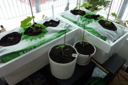 2012-04-12-0941_-_agurkeplante_chiliplante_tomatplante_2