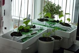 2012-04-15-1121_-_agurkeplante_chiliplante_tomatplante