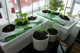 2012-04-15-1121_-_agurkeplante_chiliplante_tomatplante_2