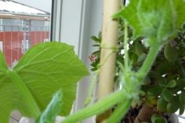 2012-04-17-1242_-_agurkeplante_chiliplante_tomatplante_2