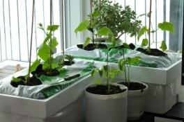 2012-04-18-1725_-_agurkeplante_chiliplante_tomatplante