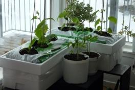 2012-04-19-1852_-_agurkeplante_chiliplante_tomatplante