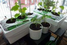2012-04-19-1852_-_agurkeplante_chiliplante_tomatplante_2