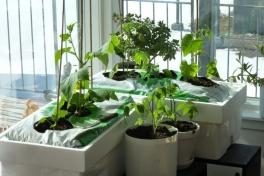 2012-04-21-1556_-_agurkeplante_chiliplante_tomatplante
