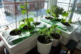 2012-04-21-1556_-_agurkeplante_chiliplante_tomatplante_2