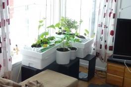 2012-04-22-1041_-_agurkeplante_chiliplante_tomatplante