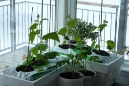 2012-04-23-1155_-_agurkeplante_chiliplante_tomatplante