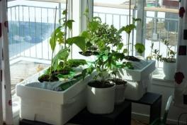 2012-04-24-1304_-_agurkeplante_chiliplante_tomatplante