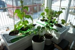 2012-04-24-1304_-_agurkeplante_chiliplante_tomatplante_2