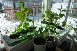 2012-04-25-1342_-_agurkeplante_chiliplante_tomatplante_2