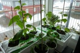 2012-04-26-1143_-_agurkeplante_chiliplante_tomatplante
