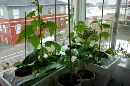 2012-04-27-1654_-_agurkeplante_chiliplante_tomatplante_2