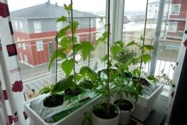 2012-04-29-1021_-_agurkeplante_chiliplante_tomatplante