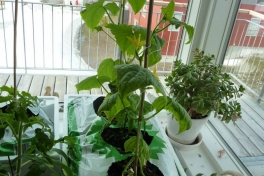 2012-04-30-0949_-_agurkeplante_chiliplante_tomatplante_2