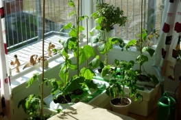 2012-05-01-1608_-_agurkeplante