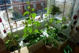 2012-05-01-1608_-_agurkeplante_2