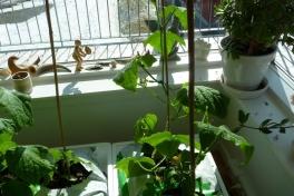 2012-05-01-1608_-_agurkeplante_3