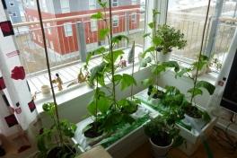 2012-05-02-1740_-_agurkeplante