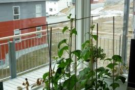 2012-05-05-1231_-_agurkeplante_chiliplante_tomatplante