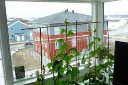 2012-05-05-1231_-_agurkeplante_chiliplante_tomatplante_2