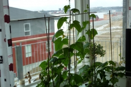 2012-05-08-0956_-_agurkeplante_chiliplante_tomatplante