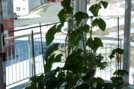 2012-05-13-1052_-_agurkeplante_chiliplante_tomatplante