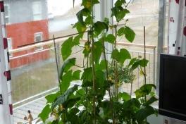 2012-05-15-1321_-_agurkeplante_chiliplante_tomatplante