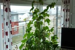 2012-05-20-1441_-_agurkeplante_chiliplante_tomatplante