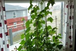 2012-05-21-1521_-_agurkeplante_chiliplante_tomatplante