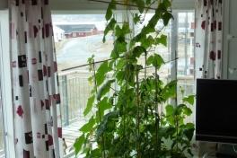 2012-05-24-1343_-_agurkeplante_chiliplante_tomatplante