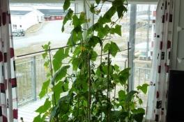 2012-05-25-1348_-_agurkeplante_chiliplante_tomatplante