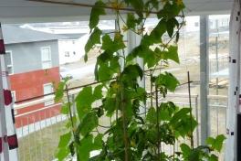 2012-05-28-1016_-_agurkeplante_chiliplante_tomatplante
