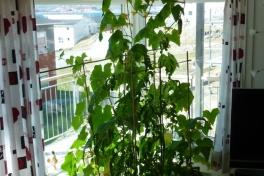 2012-05-31-1303_-_agurkeplante_chiliplante_tomatplante