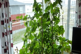 2012-06-06-0954_-_agurkeplante_chiliplante_tomatplante