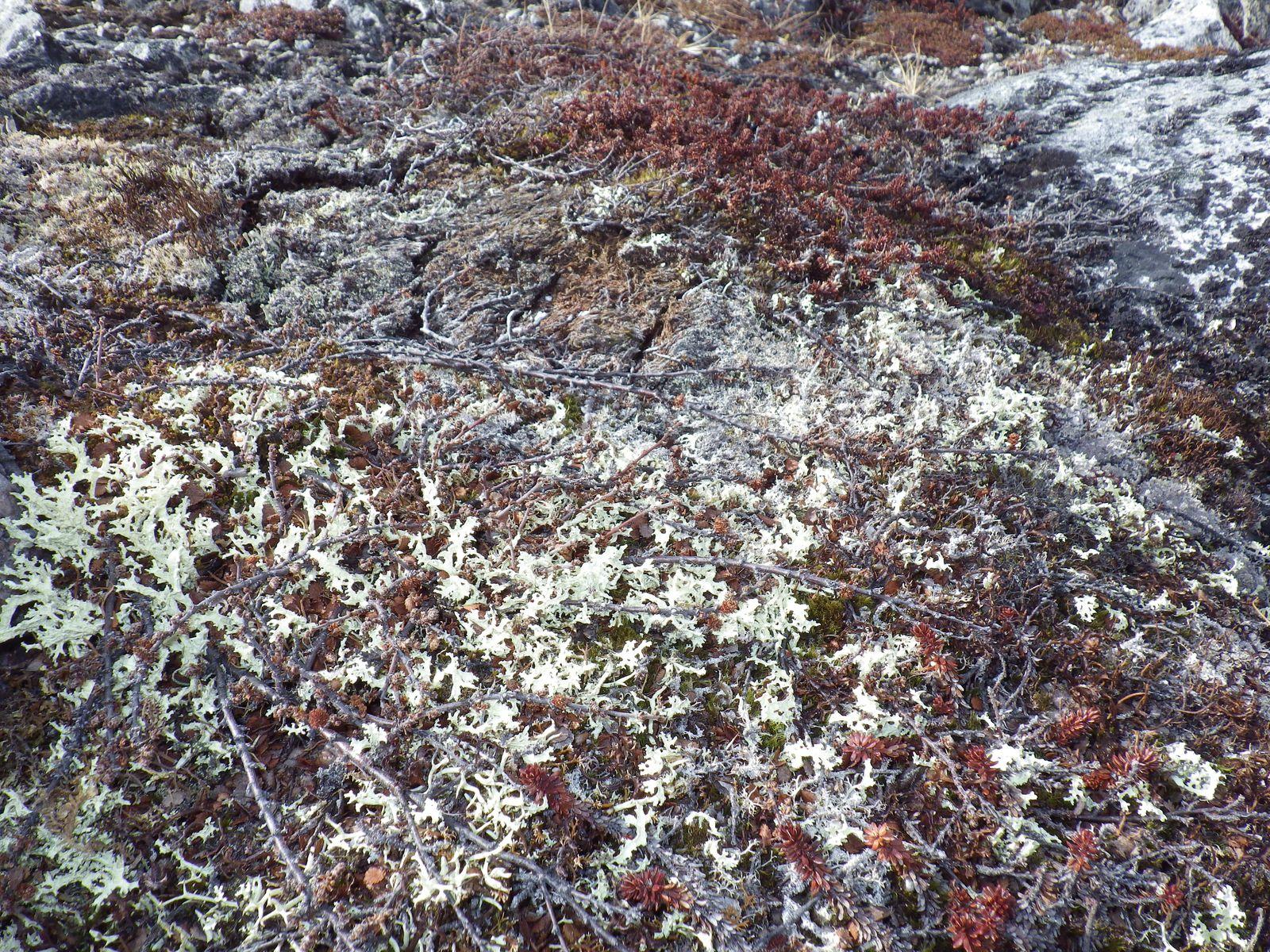 2013-04-17-1703_-_rensdyrlav_vegetation