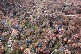 2013-04-17-1710_-_sortebaer_vegetation