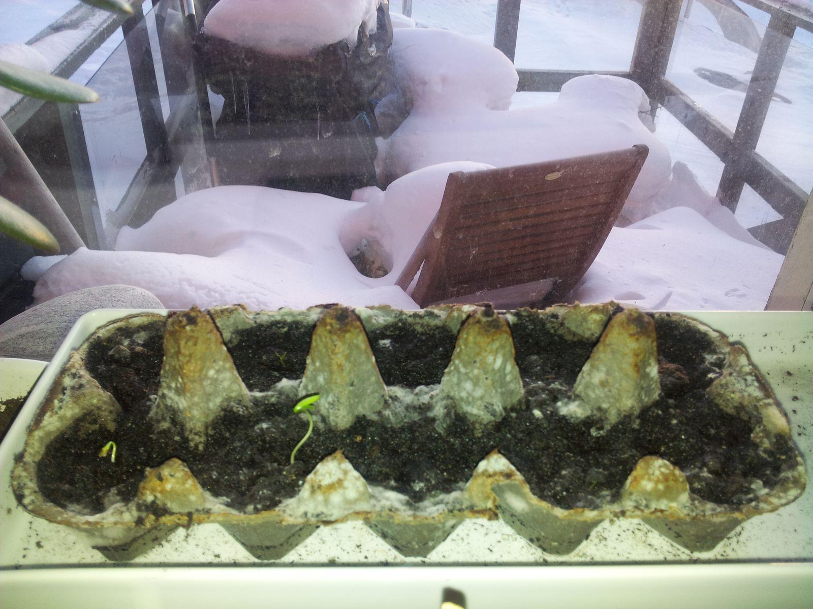 Agurker og tomater i vindueskarmen Pupik 2