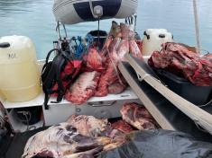 Moskusjagt i Kangerlussuaq 2021. Fangede 2 store dyr. Alu, Maren og Søren afsted. Mødtes med Kim og Jaaku.